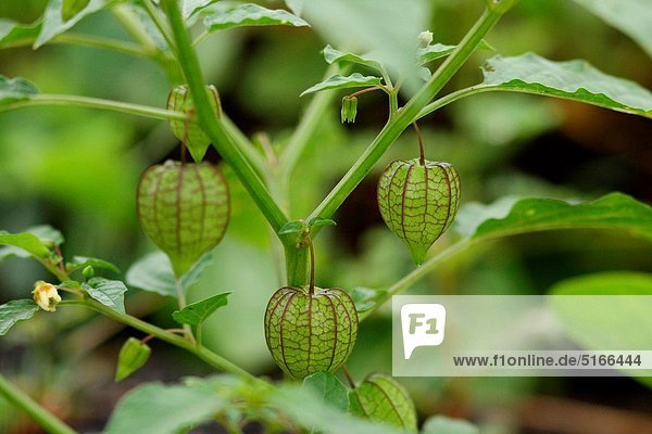 Twig of Physalis with flower  bud and lantern in nature Twig of Physalis with flower, bud and lantern in nature