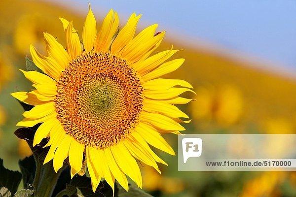 Sunflowers field ´Learza´ estate Near Estella  Navarre  Spain