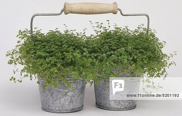 zwei bubikopf pflanzen in kleinen blecht pfen lizenzfreies bild bildagentur f1online 5201192. Black Bedroom Furniture Sets. Home Design Ideas