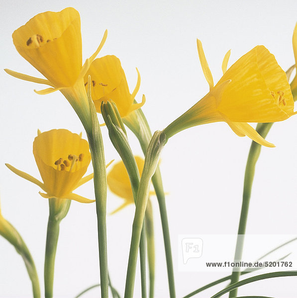 Zwei Gelbe Krokusse