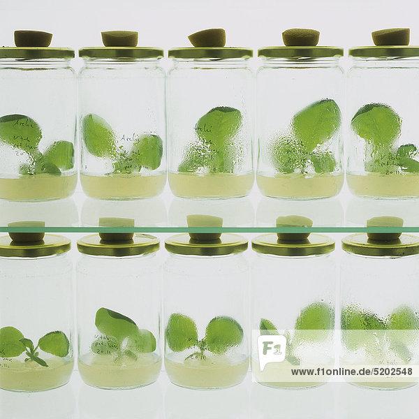 Pflanzenzüchtung im Labor  Pflanzen in Gläsern