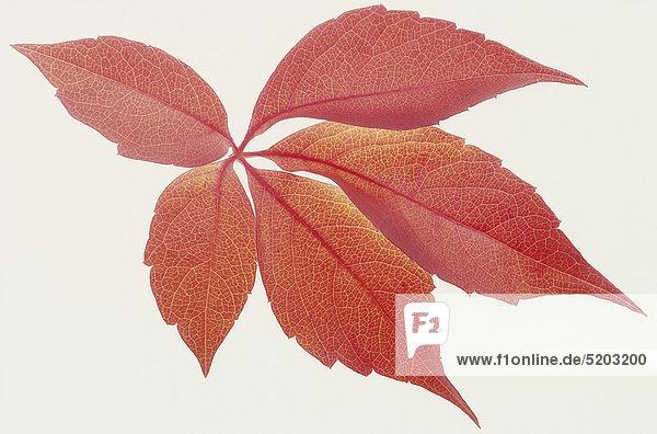 Rote Herbstblätter  Jungfernrebe