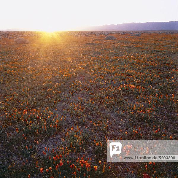 Gelbe Blumenwiese bei Sonnenuntergang  kalifornischer Mohn