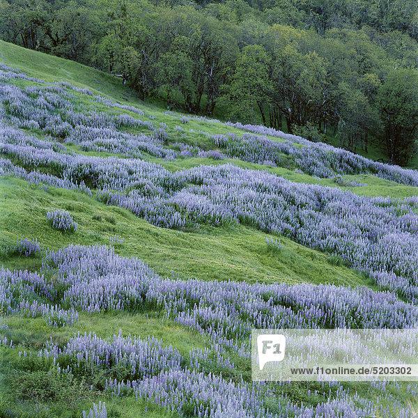 Blaue Blumenwiese