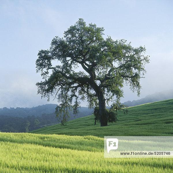 Großer Laubbaum in Felderlandschaft  Kaliforniern  USA