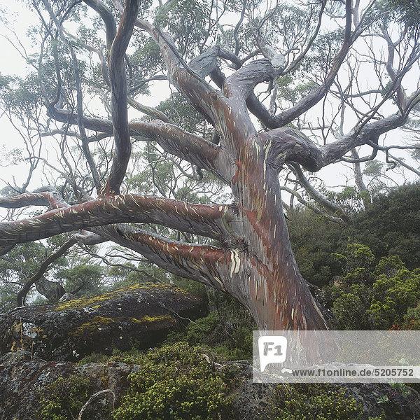 Großer  alter Baum an Berghang  Regenwald  Tasmanien  Australien