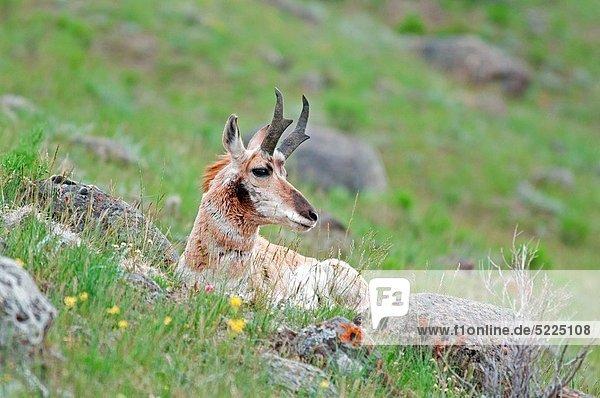 nahe  Rettung  Bach  Berg  Yellowstone Nationalpark  Gabelbock  Antilocapra americana  Antilope  Bock