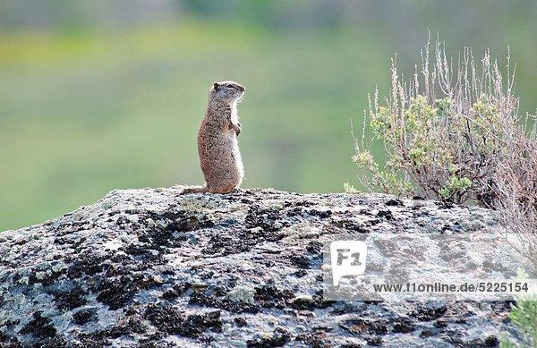 Hörnchen  Sciuridae  nahe  Tal  Boden  Fußboden  Fußböden  Beispiel  Yellowstone Nationalpark