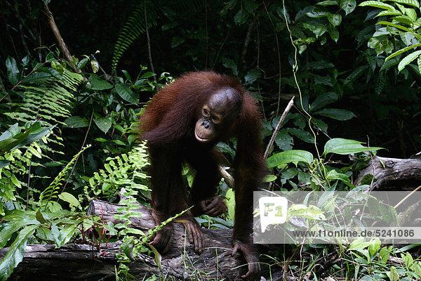 Indonesia  Borneo  Tanjunj Puting National Park  View of Bornean orangutan in forest
