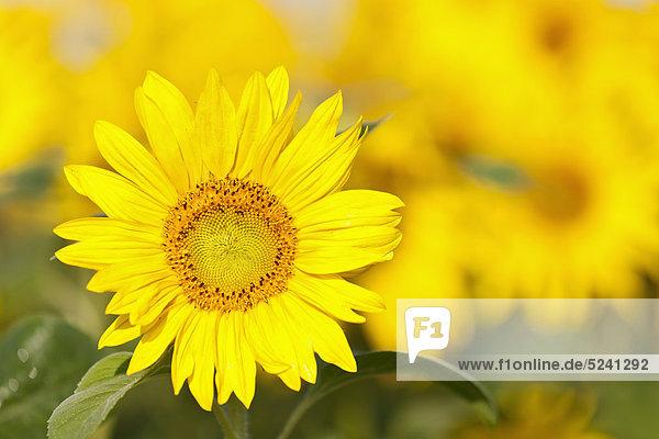 Deutschland  Bayern  Sonnenblume im Feld  Nahaufnahme