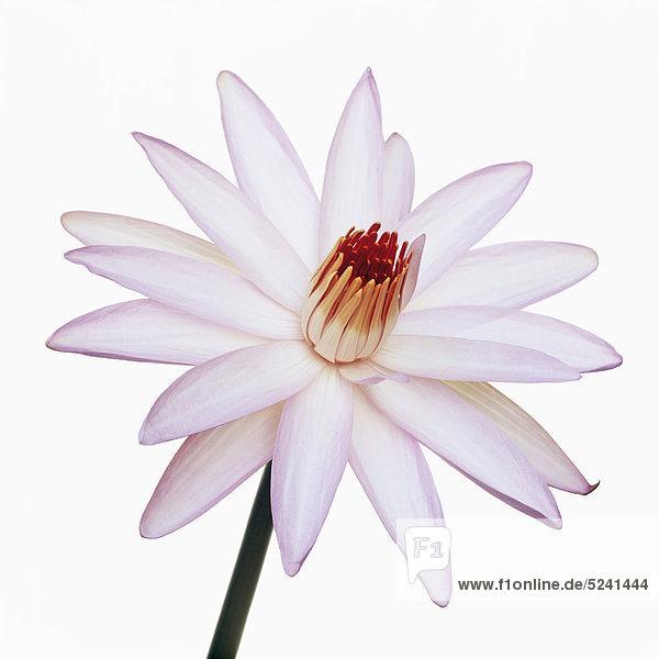 Rosa Seerosenblüte