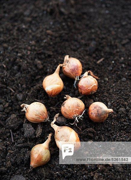 Zwiebeln auf Boden angebaut