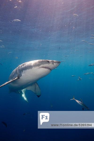 Weißer Hai  Mexiko