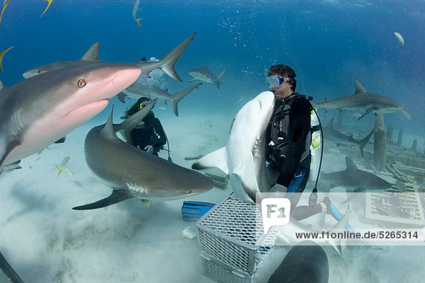 Hai-Fütterungstauchgang