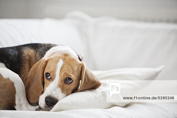 liegend  liegen  liegt  liegendes  liegender  liegende  daliegen  Interior  zu Hause  Couch  Hund