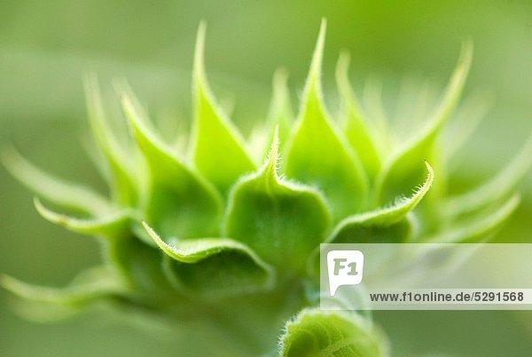 Sunflower bud looking like green lotus flower in field   Vaitagvadi   Parbhani   Maharashtra   India