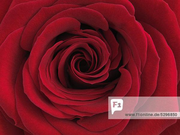 Rote Rose (Rosa)  Nahaufnahme