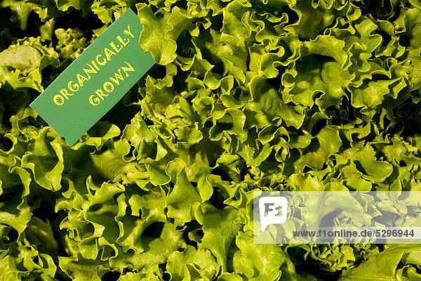 Bio-Produkte  gr¸ner Kopfsalat  Waterloo  Quebec  Kanada  Nordamerika