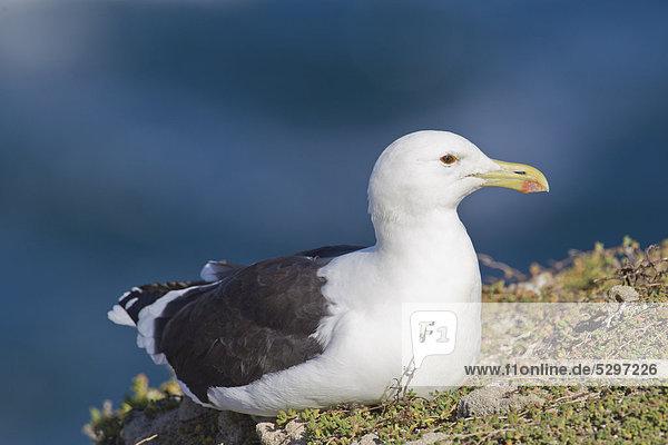 Cape Gull oder Kap-Mˆwe (Larus vetula)  Robberg Nature Reserve  S¸dafrika  Afrika
