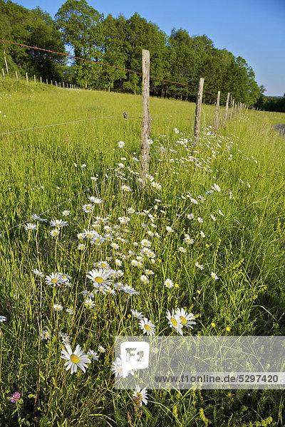 Magerwiesen-Margeritem (Leucanthemum vulgare) wachsen am Stra_enrand im l‰ndlichen Frankreich  La Creuse  Limousin  Frankreich  Europa