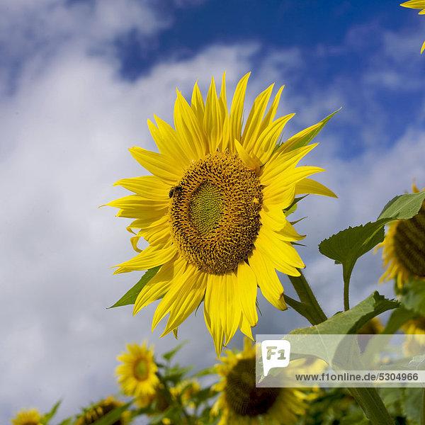 Sonnenblumenfeld  Limagne  Auvergne  Frankreich  Europa