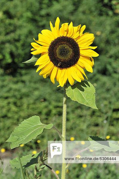 Sonnenblume  (Helianthus annuus)  Schwäbisch Gmünd  Baden-Württemberg  Deutschland  Europa