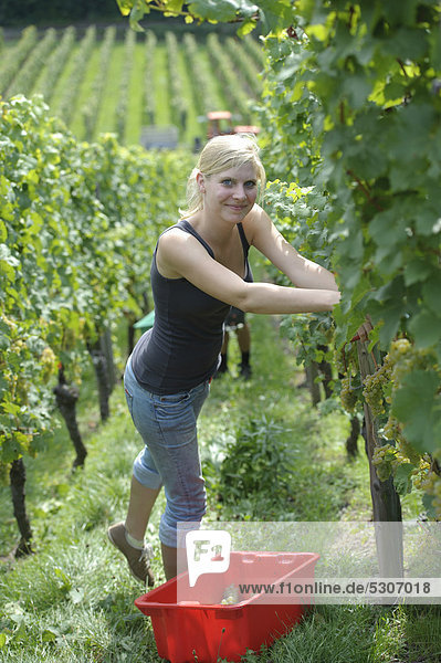 Young woman harvesting grapes  early vintage  Riesling grapes  Uhlbach  Baden-Wuerttemberg  Germany  Europe