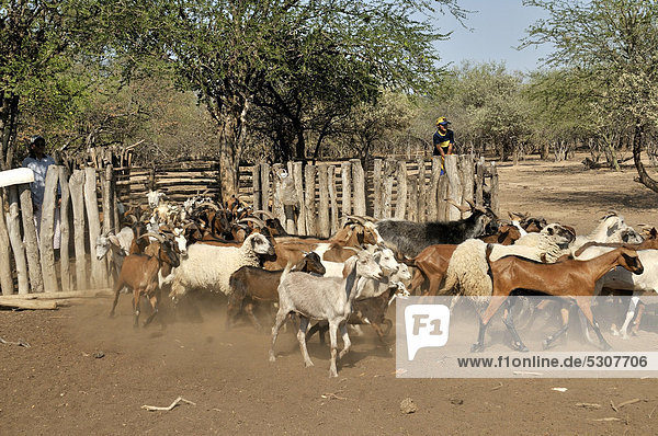 Herd of goats and sheep from a small farming family  Puesto La Guascha  Gran Chaco  Salta  Argentina  South America