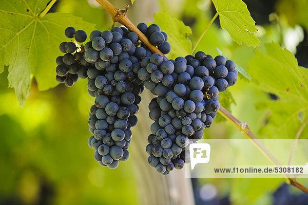 Weintrauben  Weinreben  Weinregion  Südsteiermark  Steiermark  Österreich  Europa