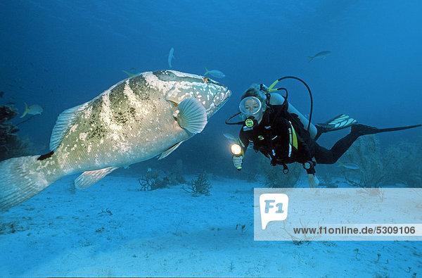 Taucher mit Nassau-Zackenbarsch (Epinephelus striatus)  Grand Cayman  Cayman Islands  Karibik