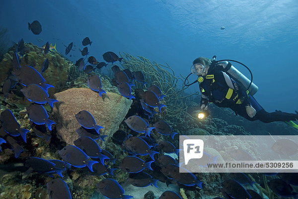 Alge blau Karibik Taucher Atlantischer Ozean Atlantik essen essend isst Bonaire Kleine Antillen Riff Borstenzahndoktorfisch