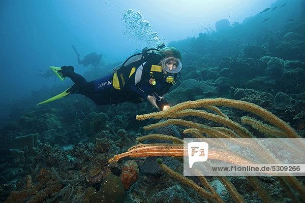 Trompetenfisch Aulostomus beobachten verstecken Meer Karibik Bonaire Kleine Antillen Stange