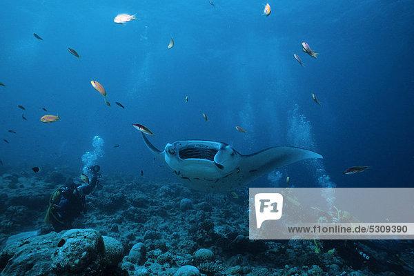 Scuba diver watching a manta ray (Manta birostris) feeding on plancton with its mouth open  Ari Atoll  Maldives  Indian Ocean  Asia