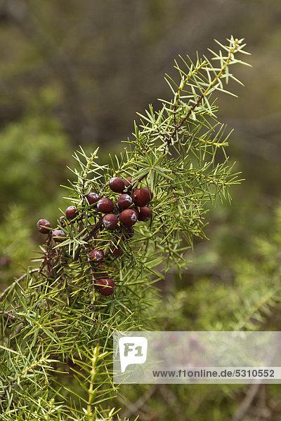 Wildwachsende Wacholderbeeren (Juniperus) am Busch  Montouliers  Herault  Frankreich  Europa