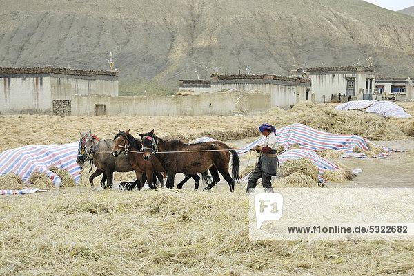 Tibetische Bäuerin bei der Feldarbeit mit Pferden nahe Tingri  Himalaya  Tibet  China  Asien