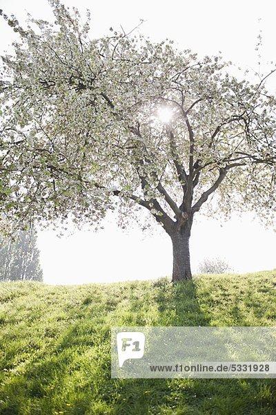 Blühender Baum auf grünem Hügel