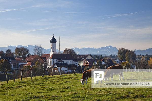 Iffeldorf an den Osterseen mit Kühen  Alpen  Oberbayern  Bayern  Deutschland  Europa Iffeldorf an den Osterseen mit Kühen, Alpen, Oberbayern, Bayern, Deutschland, Europa