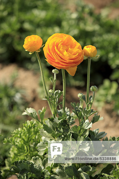 Ranunkel (Ranunculus asiaticus)  blühend  Carlsbad  Kalifornien  USA