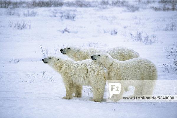Drei Eisbären (Ursus maritimus) in Schneegestöber  Churchill  Kanada Drei Eisbären (Ursus maritimus) in Schneegestöber, Churchill, Kanada