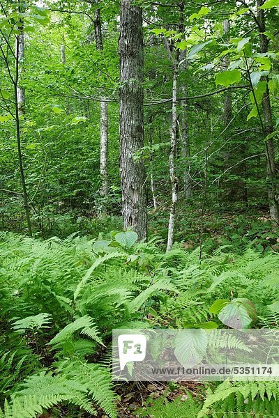 Hardwood forest along the Sabbaday Brook Trail in the White Mountains  New Hampshire USA