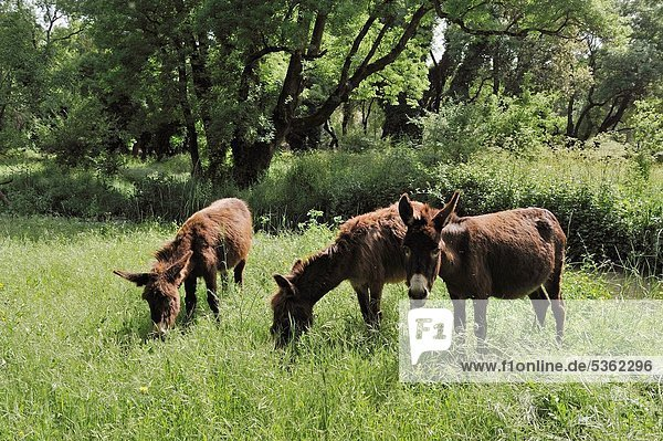 donkeys in the forest around Ifrane  Middle Atlas  Morocco  North Africa