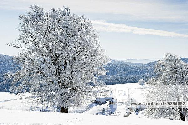 Europa bedecken Baum Buche Buchen Baden-Württemberg Schwarzwald Deutschland Schauinsland Schnee