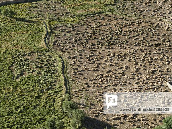 Bewässertes Ackerland entlang des Indus  vom Dach der Thikse Gompa Klosteranlage  Thiksey  Jammu und Kashmir  Indien  Asien