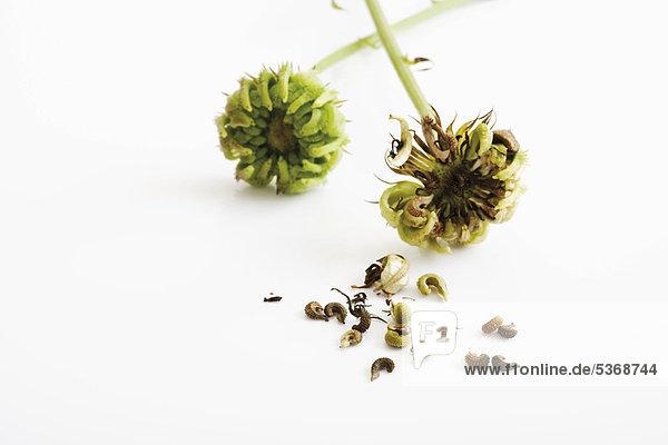 Samen der Ringelblume (Calendula officinalis)