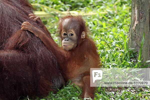 Bornean orangutan (Pongo pygmaeus)  young clinging to mother  Singapore  Asia