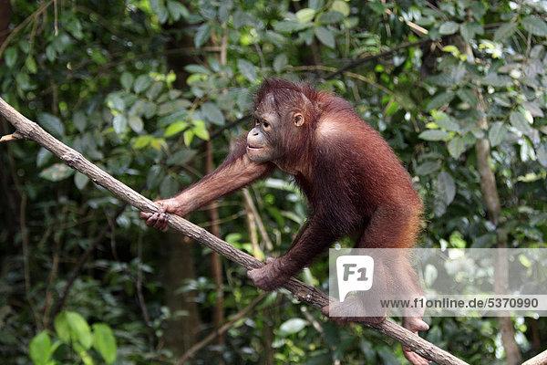 Orangutan (Pongo pygmaeus)  half-grown young climbing tree  Sabah  Borneo  Malaysia  Asia