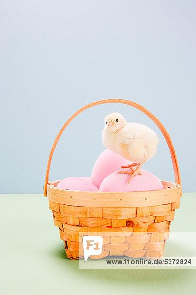 Küken stehend auf rosa Eiern im Korb im Studio Küken stehend auf rosa Eiern im Korb im Studio