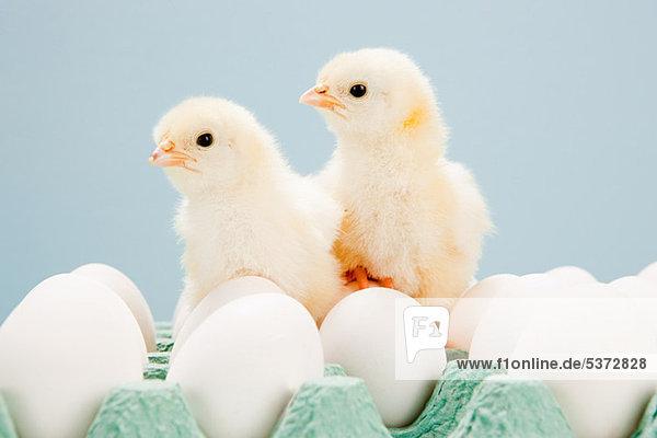 Küken auf Eiern,  Studioaufnahme