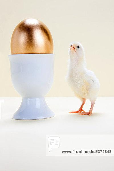 Küken schaut auf goldenes Ei im Eierbecher  Studioaufnahme