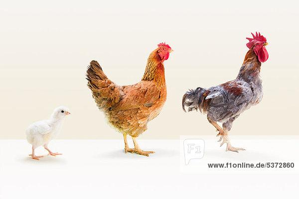 Hahn und Henne stehend mit Chick in studio Hahn und Henne stehend mit Chick in studio